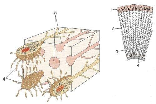 Строение дентина зуба