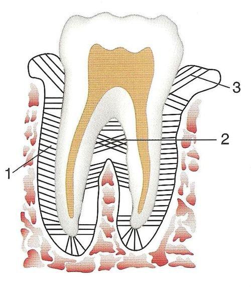 строение связок зуба